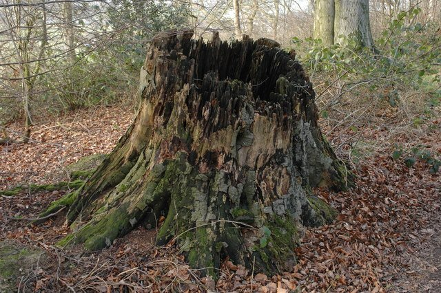 Tree_stump,_Brake's_Hill_-_geograph.org.uk_-_681524